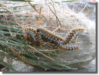 chenille processionnaire du pin biologie reproduction cycle de vie et habitat france chenilles. Black Bedroom Furniture Sets. Home Design Ideas