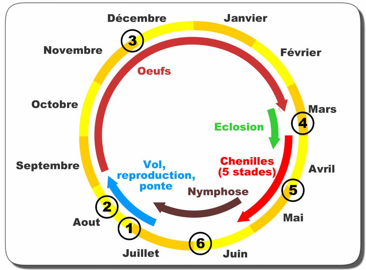 cycle biologique processionnaire du chêne