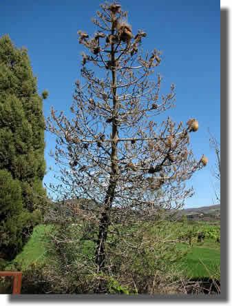 Défoliation d'un pin par les chenilles processionnaires du pin