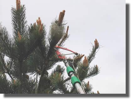 Echenillage de nid processionnaire du pin