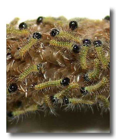 jeunes larves stade 1