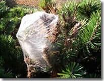 Nid de Chenilles Processionnaires du pin