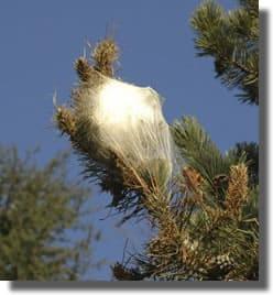 nid  d'hivers de la processionnaire du pin