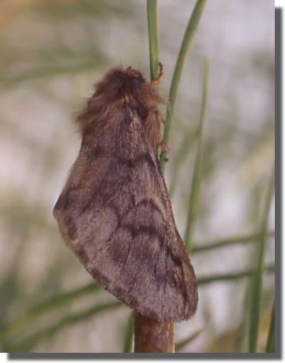 Chenille processionnaire du pin biologie reproduction cycle de vie et habitat france chenilles - Duree de vie papillon de nuit ...