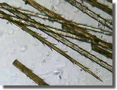 Poils urticants au microscope de la processionnaire du pin
