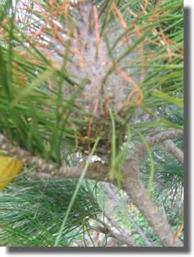 pre-nids de processionnaire du pin