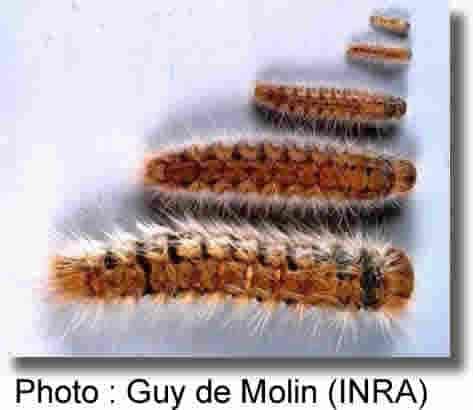 les 5 stades larvaires de la processionnaire du pin